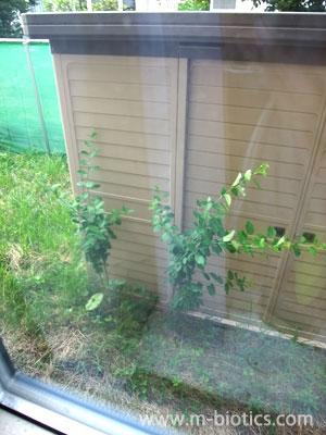 裏庭に謎の植物が突然生えた~二年かけて樹木っぽく生長