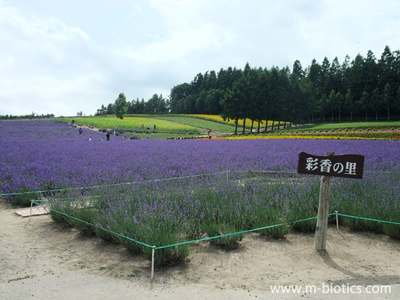 中富良野のラベンダー園「彩香の里」は雄大度ナンバーワン