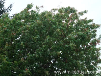 8月なのに秋の気配~ナナカマドに見つけた紅葉