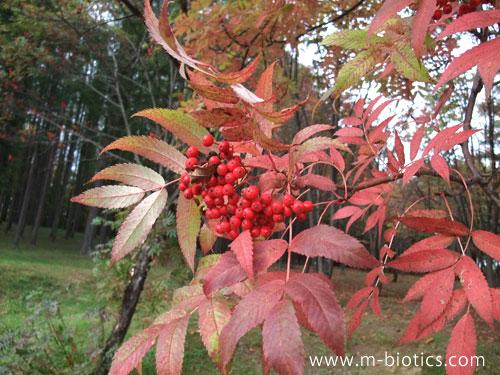 ナナカマドとカラマツの紅葉in中富良野~10月、待ったなしで秋到来