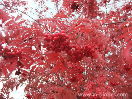 街路樹のナナカマドが真っ赤に紅葉! in2013旭川