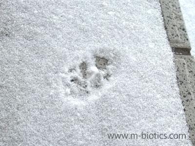 雪の上に、玄関ドアの直前まで続く猫の足跡